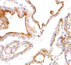 BRAF V600E Antibody